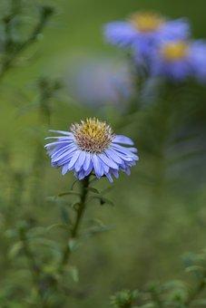 Aster, Flower, Plant, Petals, Bloom, Blossom