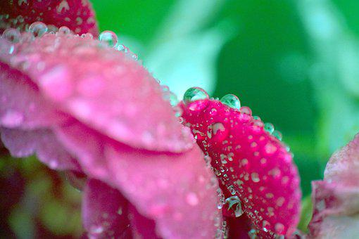 Rose, Petals, Raindrops, Wet, Water Drops, Drops