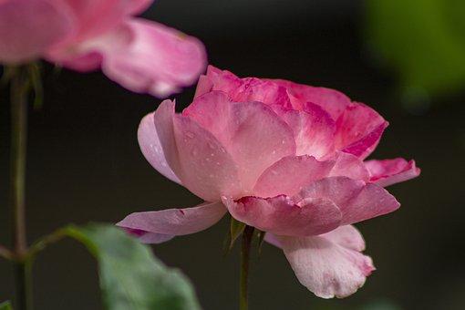Pink Roses, Bloom, Dewdrops, Pink Petals, Blossom