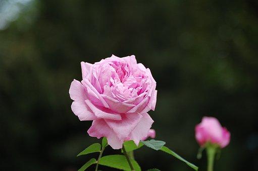 Rose, Pink Rose, Bloom, Blossom, Pink Flower
