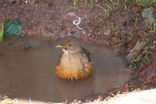 Bird, Bird Bathing, Puddle, Ave, Avian, Plumage, Beak