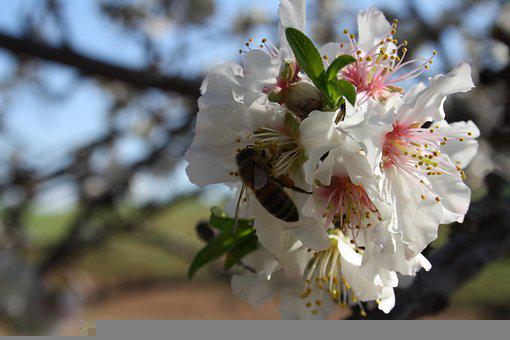 Bees, Pollinate, Pollination, White Flowers, Insects