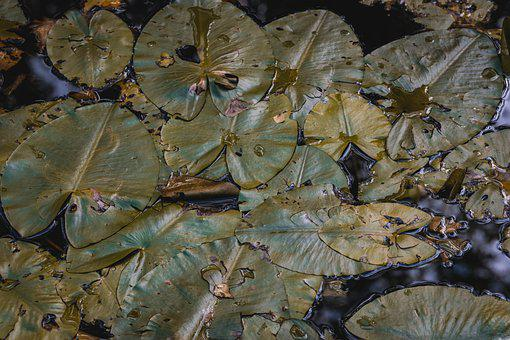 Water Lilies, Lily Pads, Pond, Aquatic Plants, Water