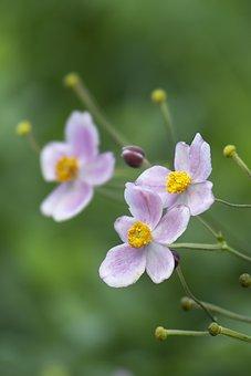Japanese Anemone, Flowers, Purple Flowers, Fall Anemone