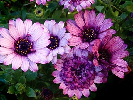 Purple Daisies, Purple Flowers, Purple Petals, Bloom