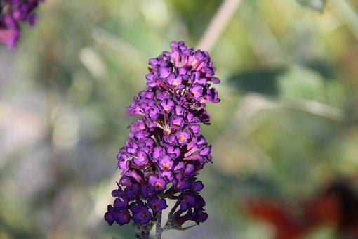 Summer Lilac, Inflorescence, Purple Flowers
