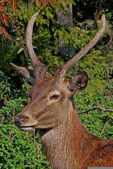 Antler, Red Deer, Hirsch, Scheu, Wild, Mammal, Animal