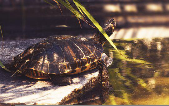 Turtle, Reptile, Shell, Pond, Armored, Aquatic Animal