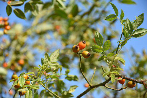 Rose Hip, Fruits, Tree, Rose Haw, Rose Hep, Plant
