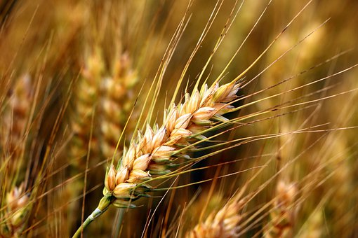 Wheat, Spikelet, Crop, Food, Cereals, Rural, Plant
