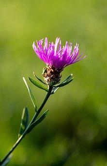 Thistle, Purple Flower, Flower, Bloom, Blossom, Flora