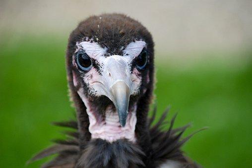 Vulture, Bird, Falconry, Bird Of Prey, Nature