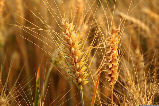 Wheat, Spikelets, Crops, Food, Cereals, Plant