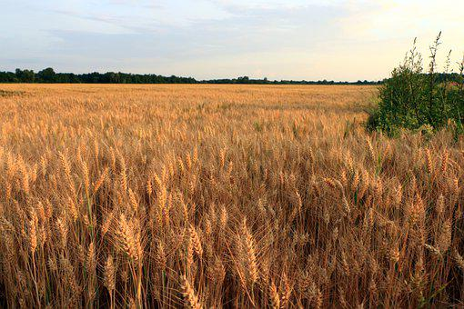 Wheat, Crops, Field, Spikelets, Food, Cereals, Plant