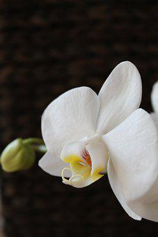 Orchid, Flower, White Orchid, White Flower