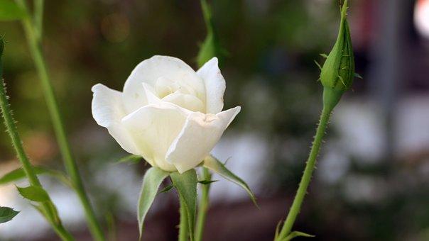White Rose, Rose, Bloom, White Flower, White Petals