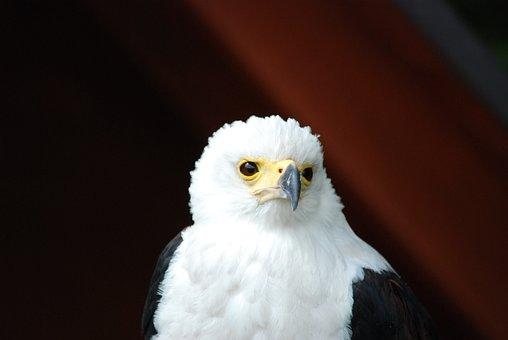 Bald Eagle, White Tailed Eagle, Raptor, Bird, Beak