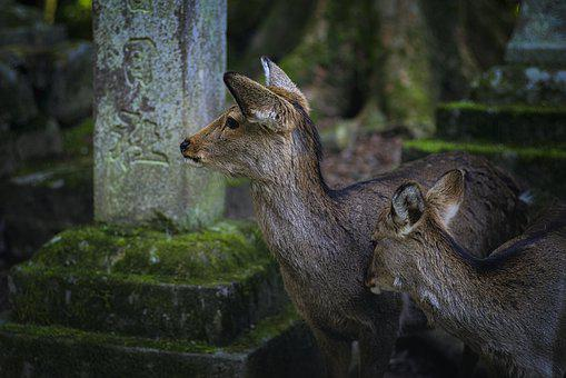 Deer, Fawn, Animal, Young Animal, Mammal, Wildlife