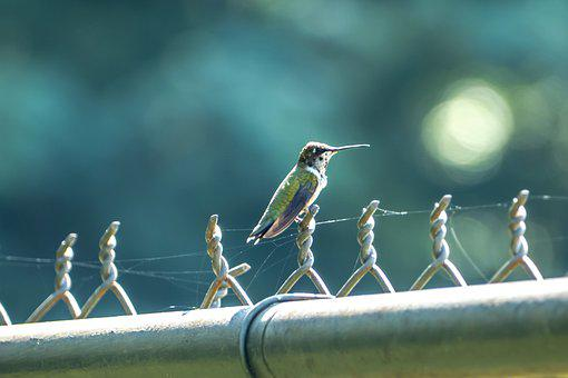 Hummingbird, Bird, Animal, Avian, Small Bird, Wildlife