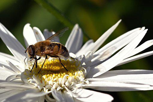 Hoverfly, Insect, Bug, Wings, Flower, Petals