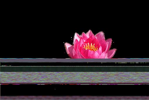 Seereose, Rose, Pond
