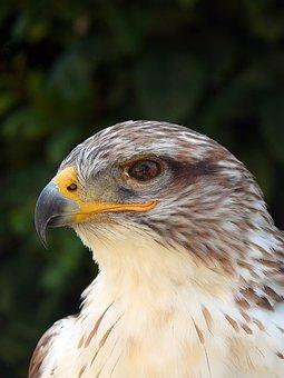 Is Bird Feather, Molt, Adler, Eye, Bach, Mountain, Prey