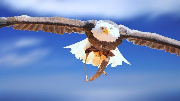 Adler, White Head Eagle, Animal Portrait, Bald-eagle
