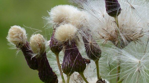 Allgäu, Flowers, Dyer Sado, Serratula Tinctoria, Faded