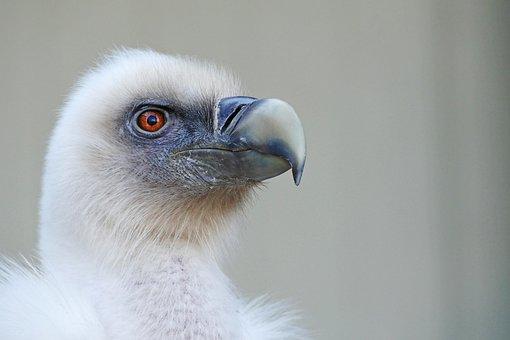 Bird, Vulture, Griffon Vulture, Animal, Scavengers, Zoo