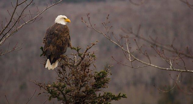 Bald Eagle, White Tailed Eagle, Adler, Bird Of Prey