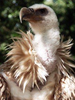Vulture, Griffon Vulture, Bird, Raptor, Feathers, Beak