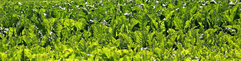 Field, Beets, Sugar Beet, Sugar, Fodder Beet