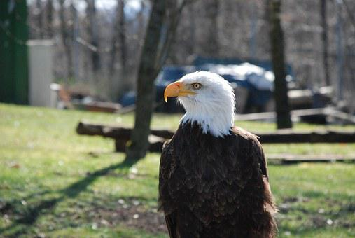 Bald Eagles, Raptor, Bald Eagle, Animal, Bird Of Prey
