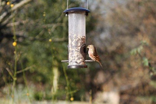 Linnet, Garden Bird, British, Warwickshire, Bird, Brown