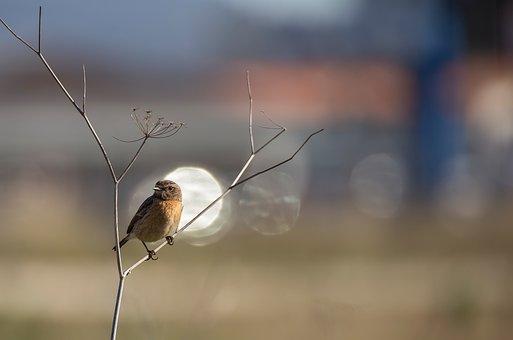 Bird, Ave, Feathers, Letdown, Stonechat, Birds, Animals