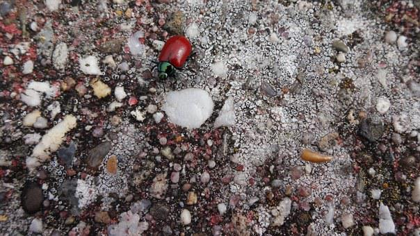 Pappelblattkaefer, Red, Shiny, Black, Gluttonous