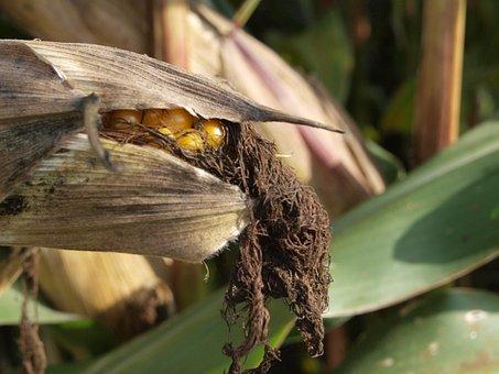 Corn, Agriculture, Field, Food, Cereals, Cornfield