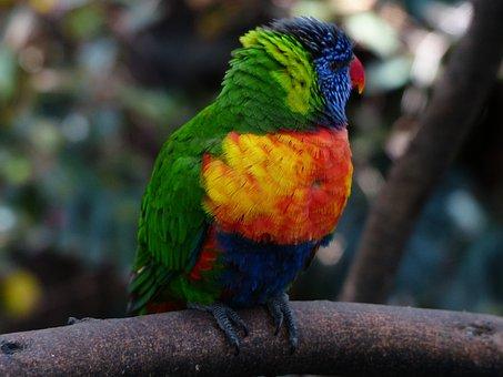 Lori, Parrot, Cute, Colorful, Bird, Loriinae