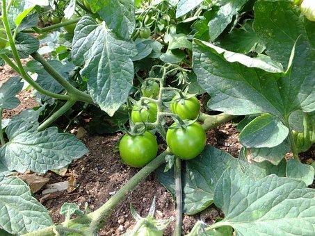 Tomatoes, Solanum Lycopersicum, Salad, Kitchen, Cook