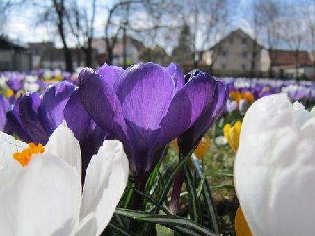Crocus, Spring, Frühlingsanfang, Flower, Purple