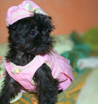Brussels, Griffon, Small, Dog, Cute, Funny