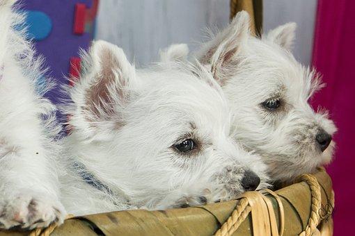 Puppies, Russkiy Toy, Breeding, Joeberger, Dog, Petit