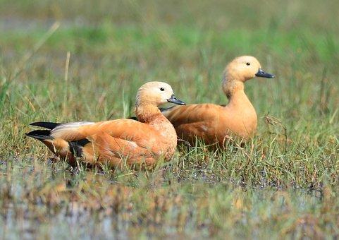 Bird, Ruddy, Shelduck, Duck, Brahminy, Pair, Nature