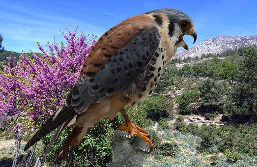 Falcon, Bund Hawk, Falconry, Hunting, Bird Of Prey