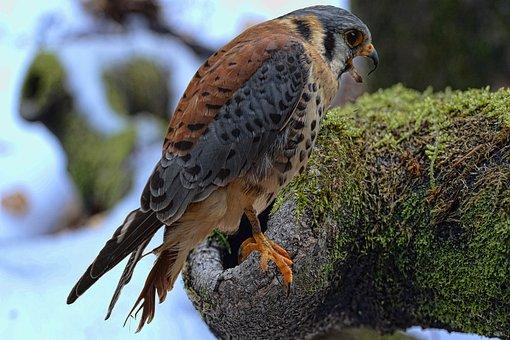 Falcon, Bund Hawk, Falconry, Raptor, Hunting