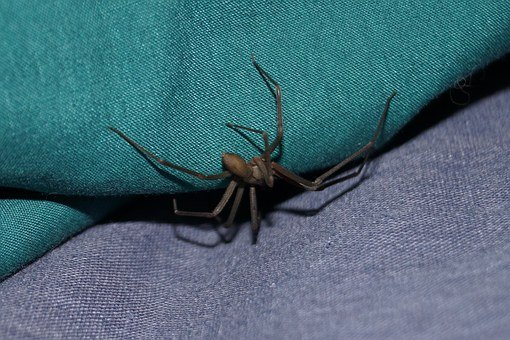 Spider, Pest, Brown Recluse, Fiddle Spider, Poisonous