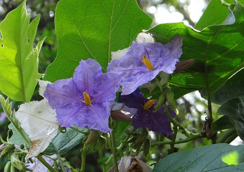 Potato Tree, Giant Star Potato Tree, Flower, Violet