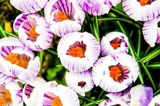 Crocus, Flower, Purple, White