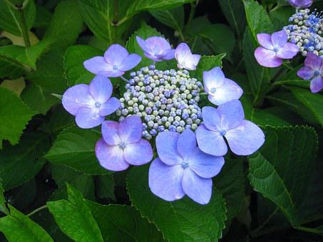 Hydrangea, Ota Kisan, Flowers, Indigo, Blue, Purple