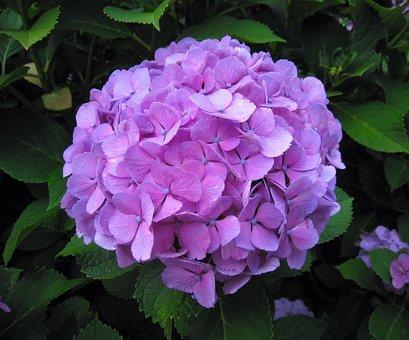 Hydrangea, Ota Kisan, Flowers, Purple, Red Purple, Lot
